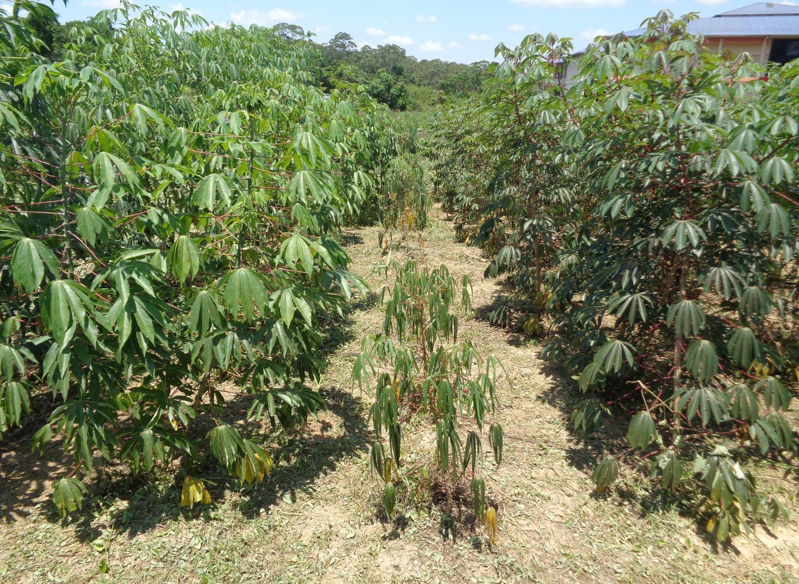 Plants de manioc (Photo: Hervé Vanderschuren)
